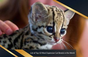 List of Top 10 Most Expensive Cat Breeds in the World