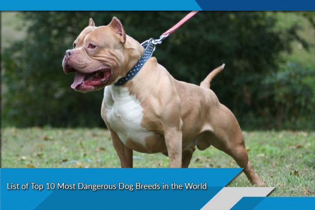 List of Top 10 Most Dangerous Dog Breeds in the World