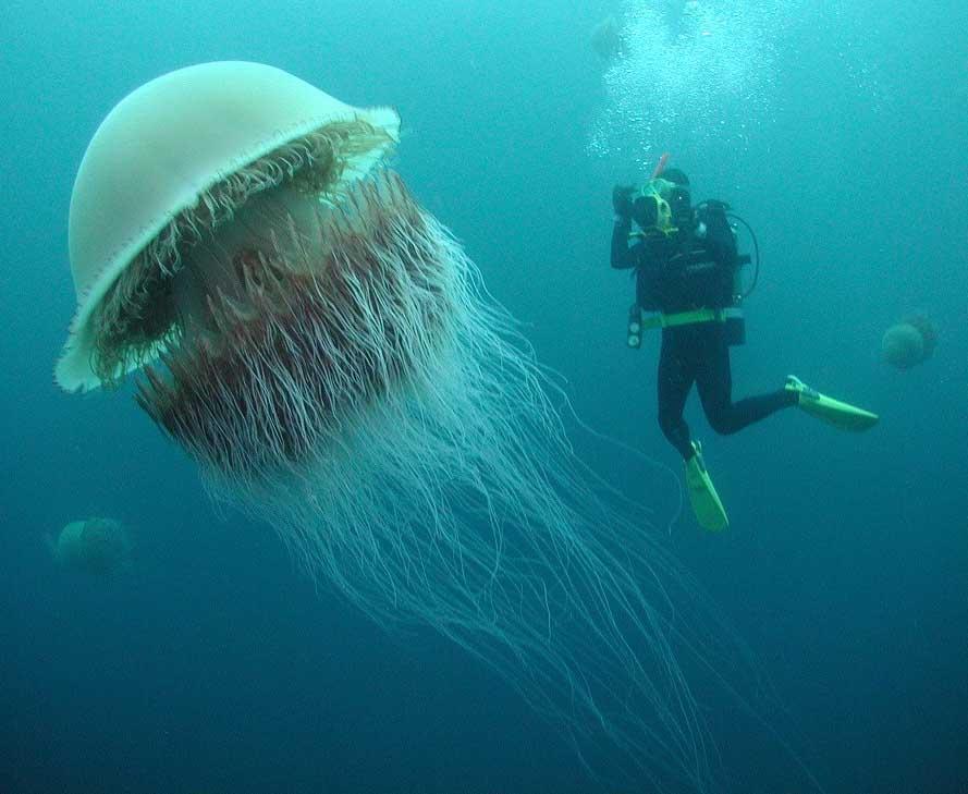 Top Ten Most Beautiful Jellyfish
