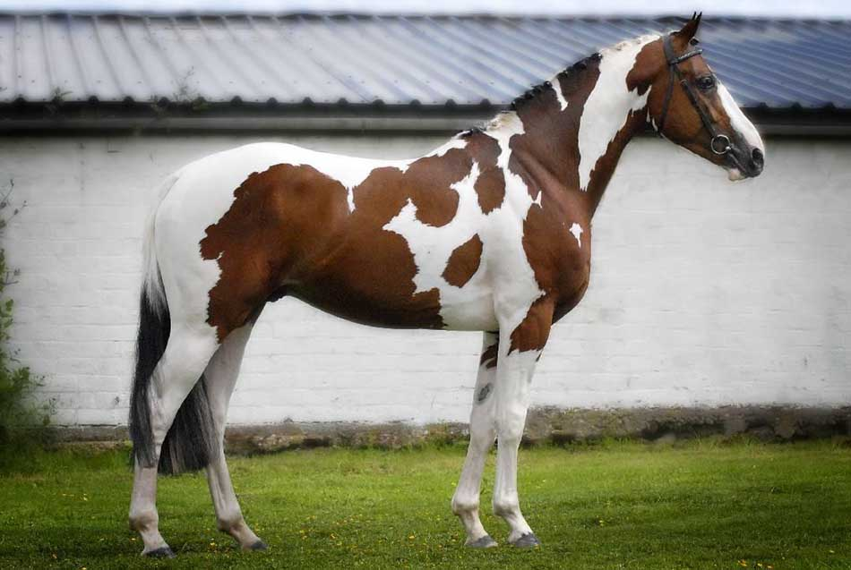 Top 5 Most Expensive Horse Breeds in the World