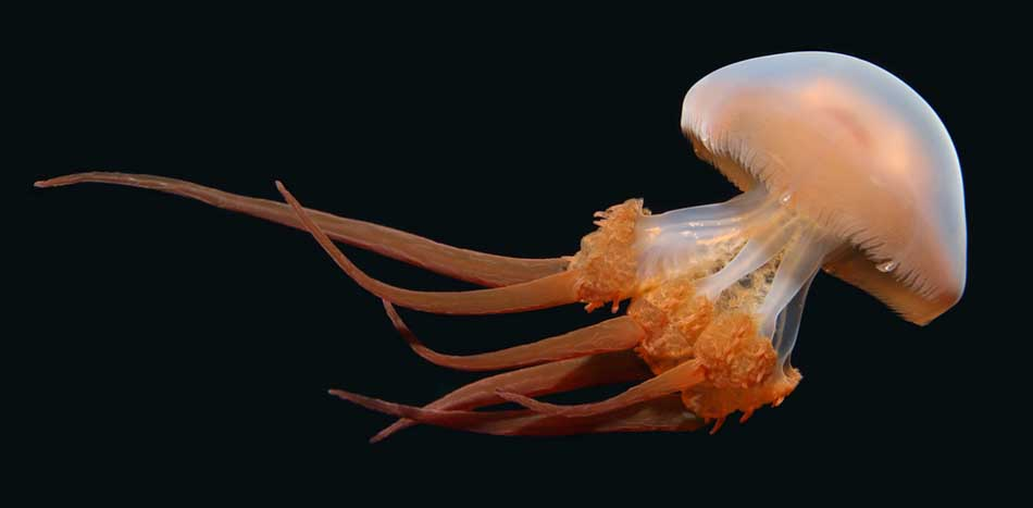 List of Top Ten Most Beautiful Jellyfish in the World