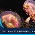 Top 10 Most Beautiful Jellyfish in the World