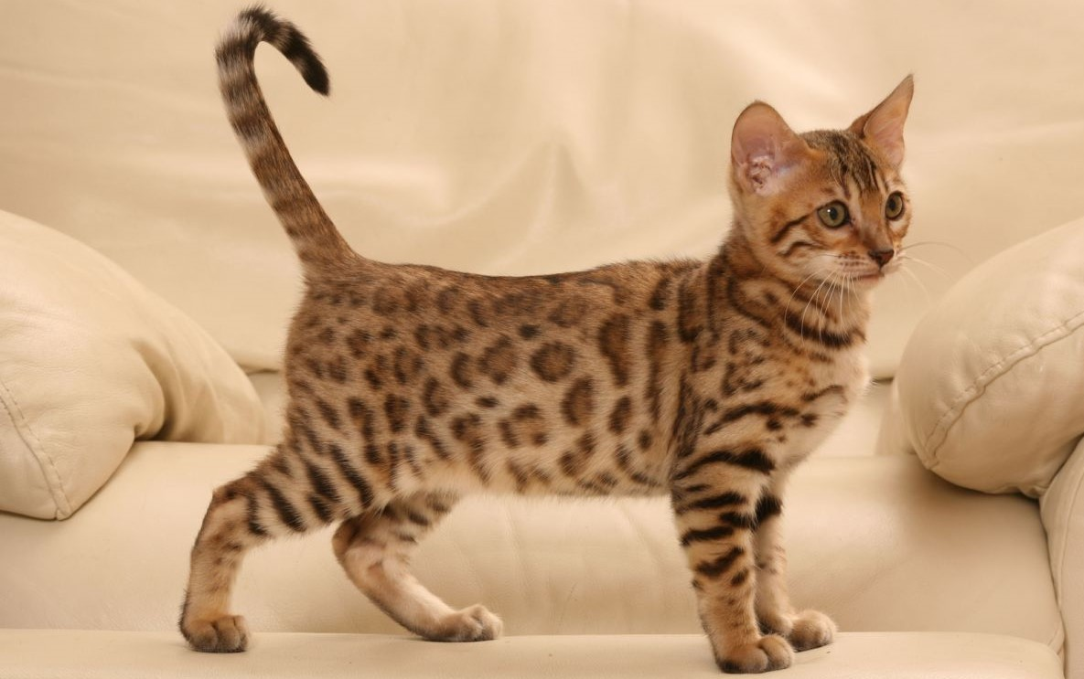 Friendly Cat Breeds For Kids