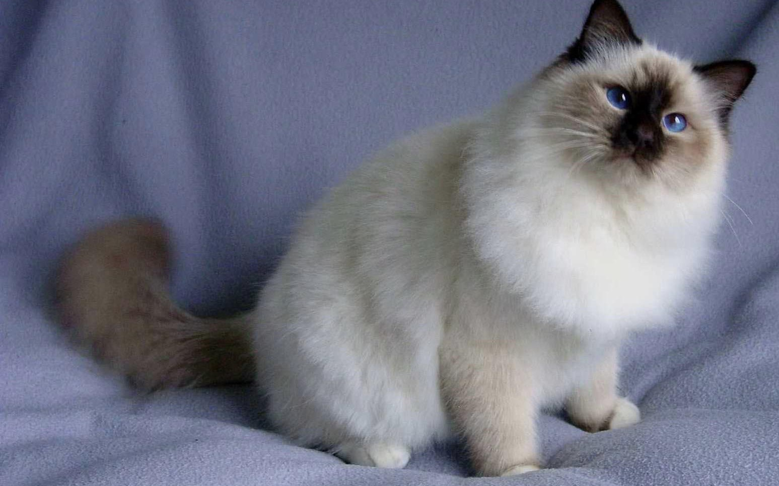 Top Most Cat Breeds For Kids In The World