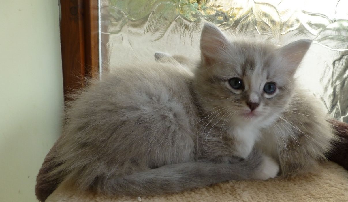 Best Cat Breeds For Kids In The World