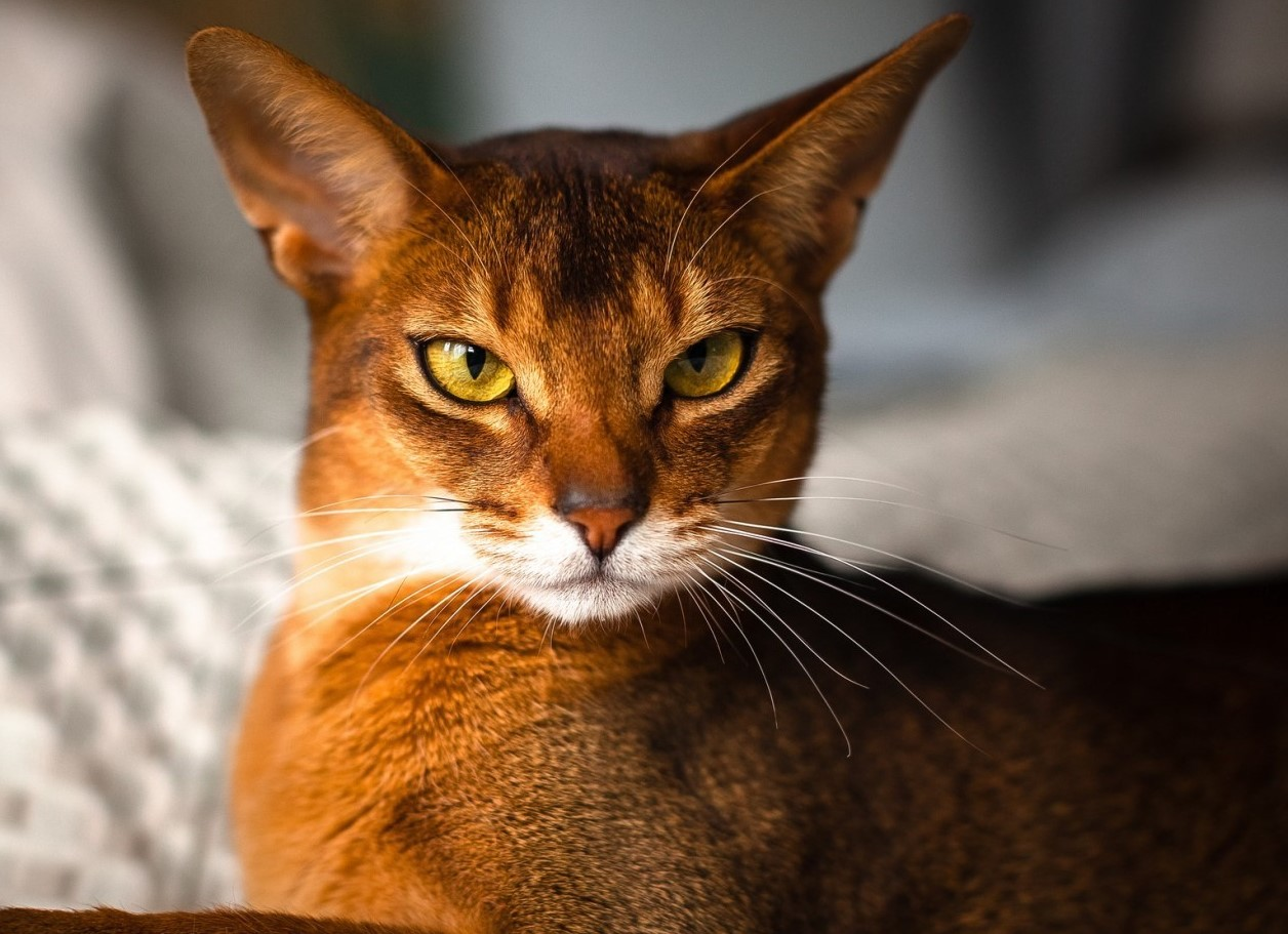 Top Best Cat Breeds For Kids In The World
