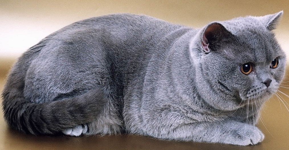 Top Best Cat Breeds For Kids In The World Highly Rated