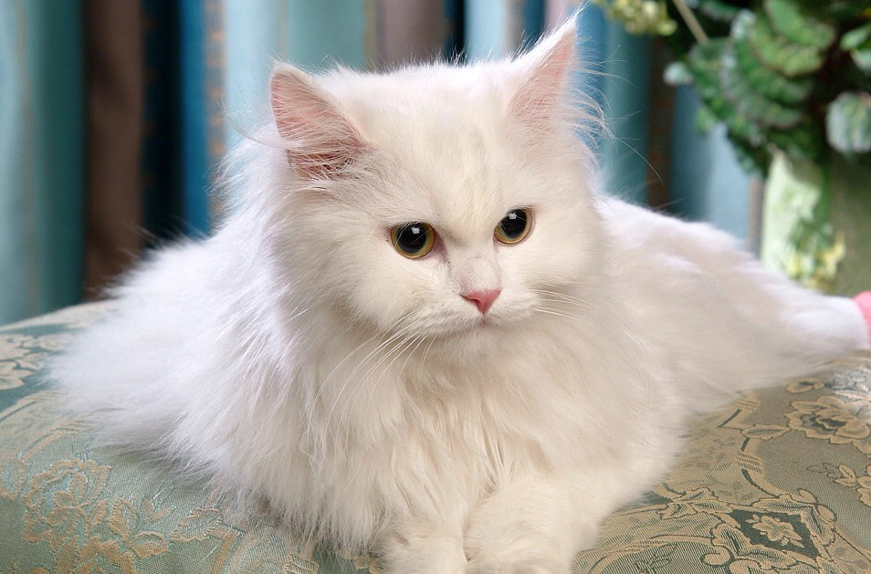 Best Cat Breeds For Kids Highly Rated